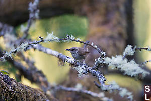 Bewicks Wren On Old Branch