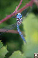 Blue Dragonfly Red Blackberry