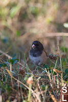 Dark Eyed Junco Eating Insects