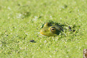 Frog In Weed