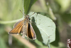 European Skipper On Leaf