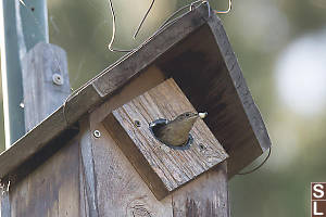 House Wren Cleaning Nest Box