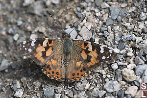 Painted Lady In Gravel