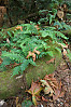 Ferns Growing On Fallen Log
