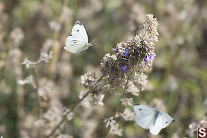 Cabbage White Flying In