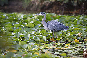 Great Blue Heron Hunting In The Lillies