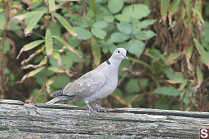Eurasian Collared Dove On Rail