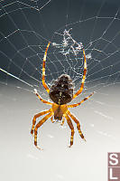 Orb Weaver On Web