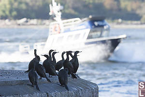 Cormorants Watching Police Boat Go By