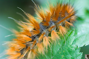 Frilly Orange Caterpillar