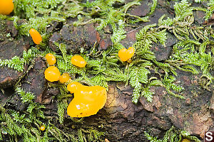 Yellow Fungus Growing With Moss
