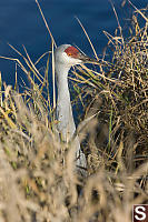 Sandhill Crane With Water Behind Hg