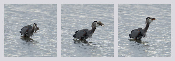 Great Blue Heron Eating Starry Flounder
