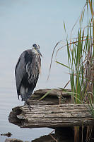 Great Blue Heron Showing Rule Of Thirds