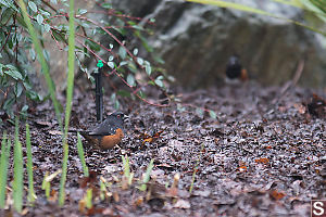 Spotted Towhee In Compost