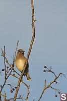 Cedar Waxwing In Hawthorn Tree