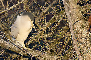 Night Heron Sleeping In Tree