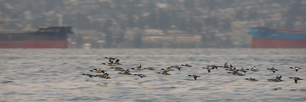 Flock Of Merganser Flying By