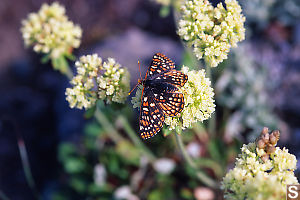 Checkered Butterfly On Sitka valerian
