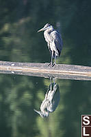 Great Blue Heron On Log Boom