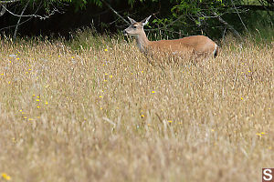 Mule Deer In The Grass
