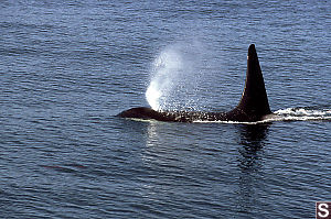 Female Orca Blowing