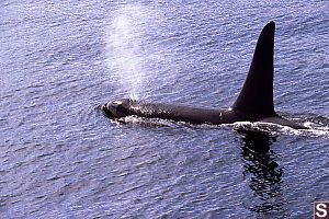 Male Orca Blowing