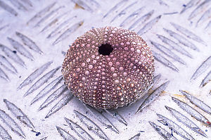 Purple Sea Urchin Shell