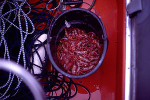 Bucket of Prawns in Zodiak