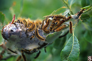 California Tent Caterpillar