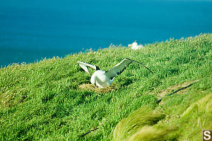 Albatross Moving Egg