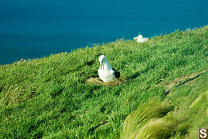 Albatross Shifting On Nest