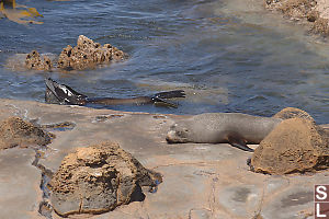 Fur Seal Swimming By