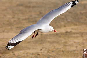 Red Billed Gull Gliding