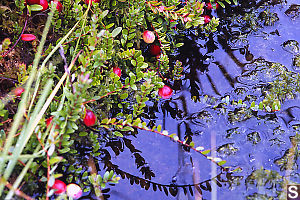 Bog Cranberries In Water