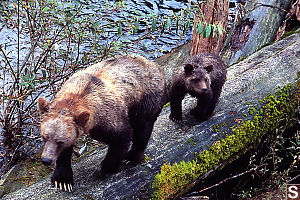 Mom And Cub Walking Down Log