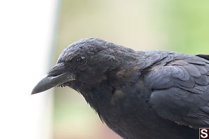 Campground Crow