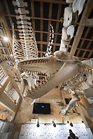 Orca And Humpback Skeletons