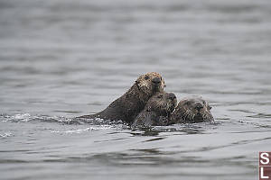 Three Sea Otters Together