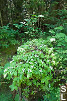 Bunchberry Growing On Log
