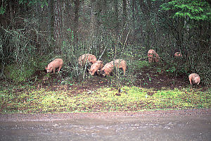 Pigs In The Forest