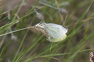 Cabbage Whites Mating On Seed Head