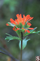 Common Red Paintbrush - Castilleja miniata