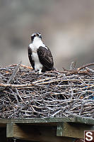 Juvenile Osprey On Nest Platform