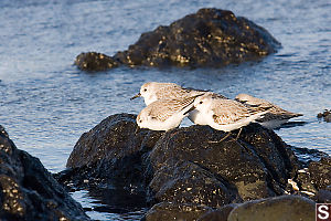 Sanderlings On Rock
