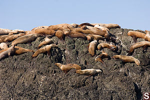 Sea Lions All Over Rock