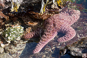 Sea Stars In Tide Pool