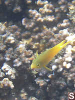 Yellow Fish Swimming By