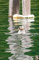 Sea Otter Looking Around