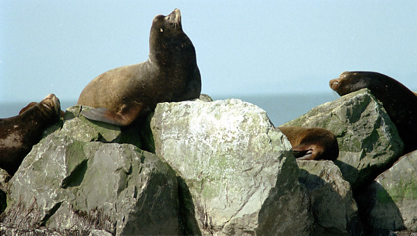Sea Lions on Rocks